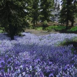 Flower Fields(花田 低高材质)
